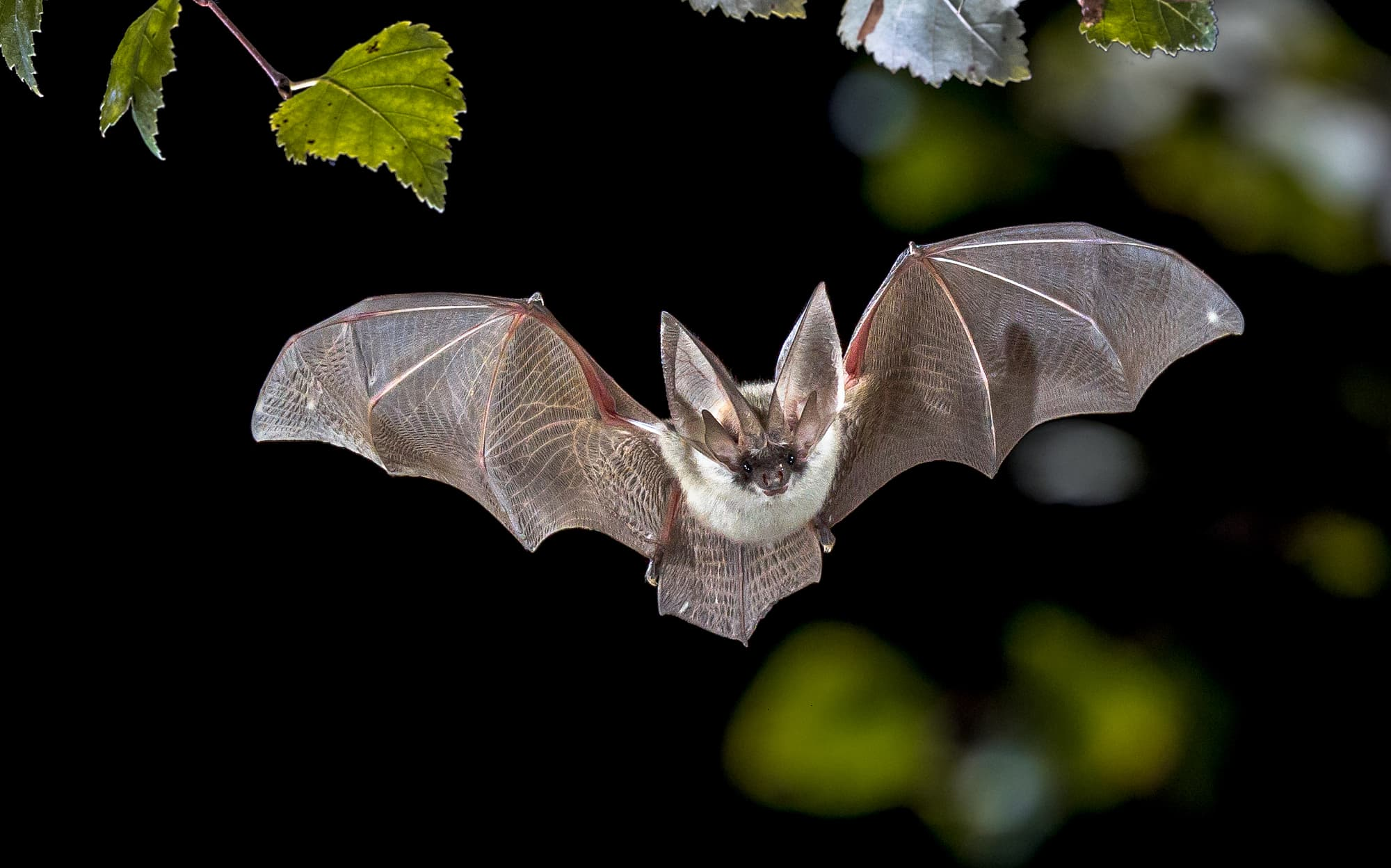Corona Virus Übertragung durch die Fledermaus
